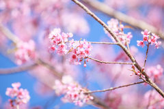Wild Himalayan cherry blossoms is  blooming Royalty Free Stock Photo
