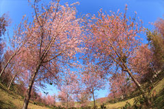 Wild Himalayan cherry blossoms is  blooming Stock Photography