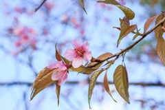 Wild Himalayan cherry blossoms flowers. Branch of Wild Himalayan cherry blossoms flowers Royalty Free Stock Photo