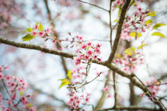 Wild Himalayan Cherry Blossoms in Phu Lom Lo Thailand Stock Images