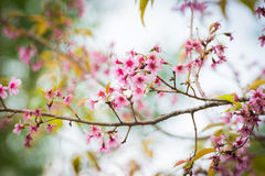 Wild Himalayan Cherry Blossoms in Phu Lom Lo Thailand Royalty Free Stock Photo