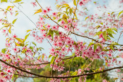 Wild Himalayan Cherry Blossoms in Phu Lom Lo Thailand Royalty Free Stock Photography