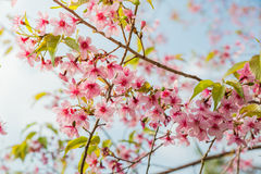 Wild Himalayan Cherry Blossoms in Phu Lom Lo Thailand Royalty Free Stock Images