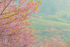 Wild Himalayan Cherry Blossoms in Phu Lom Lo Thailand Royalty Free Stock Image