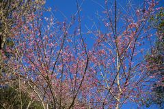 Wild Himalayan Cherry Blossoms royalty free stock photography