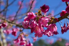 Wild Himalayan Cherry Blossoms royalty free stock images
