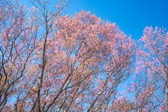 Wild Himalayan Cherry Blossoms in Thailand. Wild Himalayan Cherry Blossoms in North Thailand Stock Image