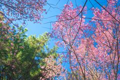Wild Himalayan Cherry Blossoms in Thailand. Wild Himalayan Cherry Blossoms in North Thailand Stock Photo
