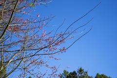 Wild Himalayan Cherry Blossoms royalty free stock photos