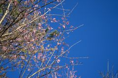 Wild Himalayan Cherry Blossoms stock image