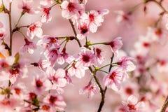 Wild Himalayan cherry blossomsPrunus cerasoides blooming in winter at Phu Lom Lo,Kok Sathon,Dan Sai District,Loei,Thailand Stock Images
