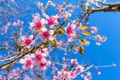 Wild Himalayan Cherry. On blue sky Stock Photography