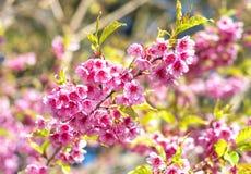 Wild Himalayan Cherry Royalty Free Stock Photography