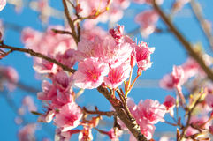 Wild Himalayan Cherry Royalty Free Stock Photos