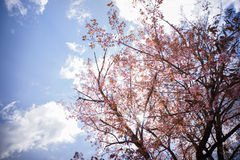 Wild Himalayan Cherry with blue sky. And sun refection Stock Images