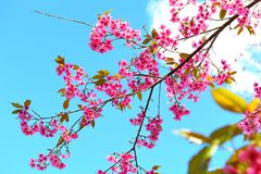 Wild Himalayan Cherry. With the blue sky and white cloud Stock Photography