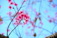 Wild Himalayan Cherry. With the blue sky and white cloud Royalty Free Stock Photography