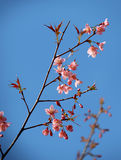 Wild Himalayan Cherry branch. With blue sky Royalty Free Stock Images