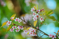 Wild Himalayan Cherry. In Chiang Mai, Thailand Royalty Free Stock Photography