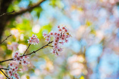 Wild Himalayan Cherry. In Chiang Mai, Thailand Royalty Free Stock Photos