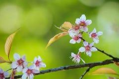 Wild Himalayan Cherry Royalty Free Stock Image