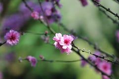 Wild Himalayan Cherry, Chiang Mai, Thailand Stock Photography