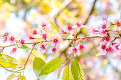 Wild Himalayan Cherry Stock Photo