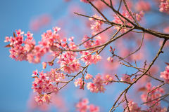 Wild himalayan cherry Stock Images