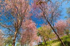 Wild Himalayan Cherry Stock Photography