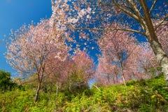 Wild Himalayan Cherry Royalty Free Stock Photo