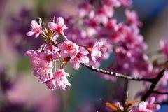 Wild Himalayan Cherry. At Doi Ang Khang,Thailand Royalty Free Stock Photography