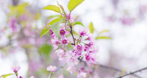Wild Himalayan Cherry Flower Royalty Free Stock Photo