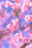 Flower Wild Himalayan Cherry Flower Royalty Free Stock Photo