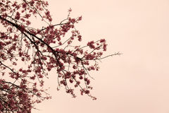 Wild Himalayan Cherry flower branch vintage filter style Stock Image