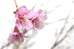 Wild Himalayan Cherry Flower. At Chiangmai Thailand Royalty Free Stock Photos