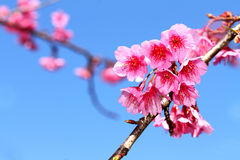 Wild Himalayan Cherry Flower. At Chiangmai Thailand Royalty Free Stock Images