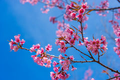 Wild Himalayan cherry flower with clear blue sky Royalty Free Stock Photography