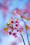Wild Himalayan cherry flower at Doi Ang Khang, Chiang Ma Stock Photography