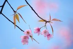 Wild Himalayan cherry flower at Doi Ang Khang, Chiang Mai Stock Photo