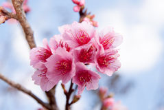 Wild Himalayan cherry flower at Doi Ang Khang, Chiang Mai Royalty Free Stock Images
