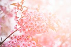 Wild himalayan cherry flower with flare light Stock Photos