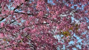 Wild Himalayan Cherry flower stock footage