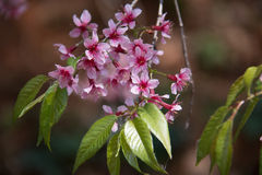 Wild Himalayan Cherry flower. Pink flower with green leaf Royalty Free Stock Image