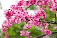 Wild Himalayan Cherry flower Stock Image
