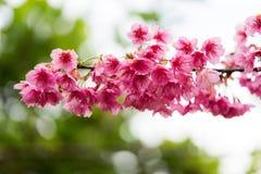 Wild Himalayan Cherry flower Stock Photography
