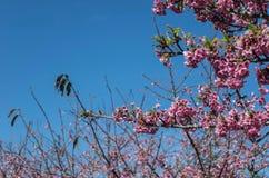 Wild Himalayan Cherry flower Royalty Free Stock Photos