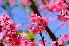 Wild Himalayan Cherry flower (Prunus cerasoides) Stock Images