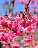 Wild Himalayan Cherry flower (Prunus cerasoides) Royalty Free Stock Photos