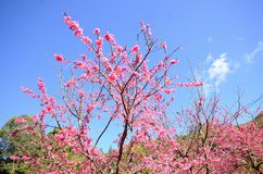 Wild Himalayan Cherry flower (Prunus cerasoides) Stock Photos