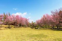 Wild Himalayan Cherry flower (Prunus cerasoides)  cherry blossom Royalty Free Stock Photography